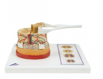 Spinal Cord Model 5 times life size