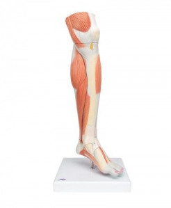 Lower Muscle Leg with detachable Knee, 3 part, Life Size